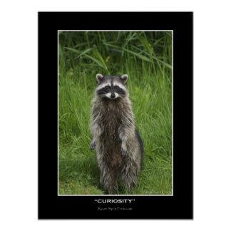 """""""CURIOSITY"""" Coon Photo Posters"""