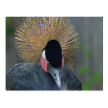 Curious African Crowned Crane Postcard