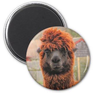 Curious Alpaca ~ magnet