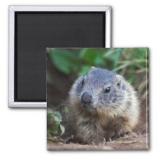 Curious Baby Marmot Magnet
