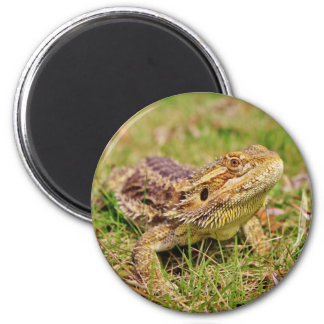 Curious Bearded Dragon 2 Magnet