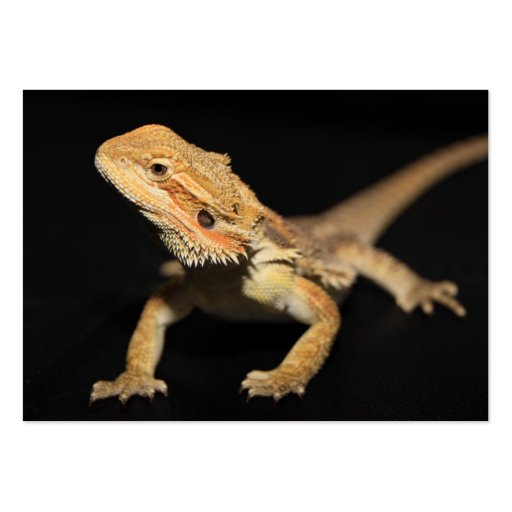 Curious Bearded Dragon 3 Large Business Cards (Pack Of 100)