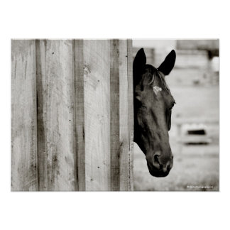 Curious Black Horse Poster