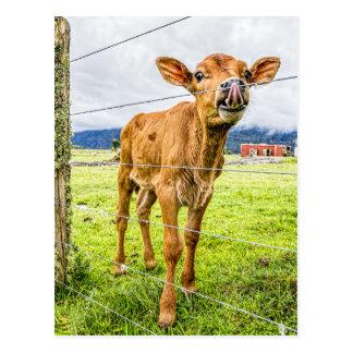 Curious Calf Postcard
