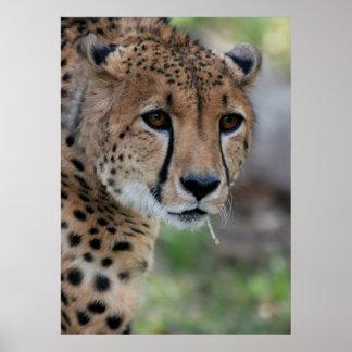 Curious Cheetah Poster