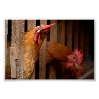 Curious Chicken Poster