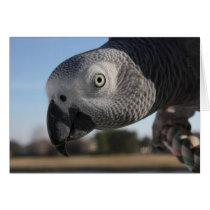 Curious Congo African Grey Parrot Card