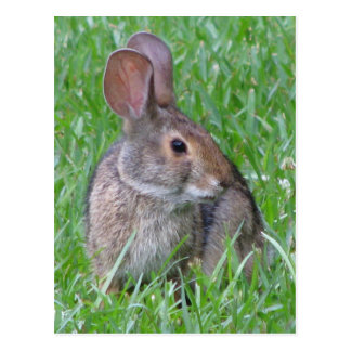 Curious Cottontail Postcard