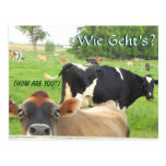 Curious Cow Postcard. Add your store or name! Postcard