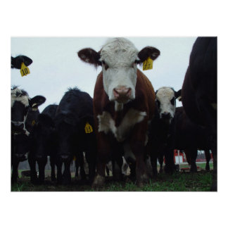 Curious Cows 3 Poster