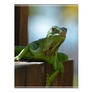 Curious Iguana Postcard