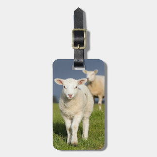 Curious lamb approaches to camera tags for luggage