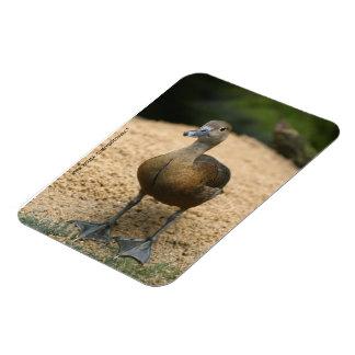 Curious little duck magnet