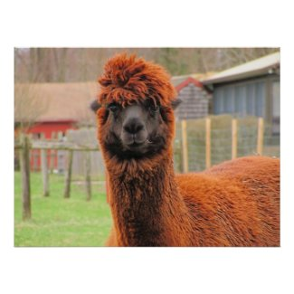 Curious Llama ~ print