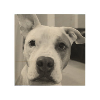 Curious Pitty Bull Wood Print