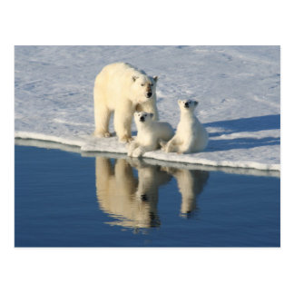 Curious Polar Bear Family Postcard