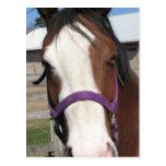 Curious Quarter Horse Postcard