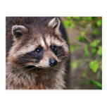Curious Raccoon Postcard