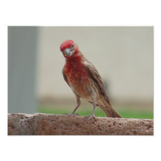 Curious Red Finch Photo Art