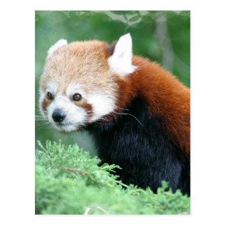 Curious Red Panda Postcard