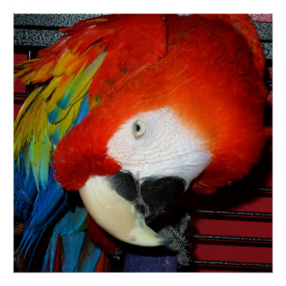 Curious Scarlett Macaw Print Poster