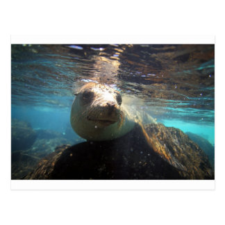 Curious sea lion underwater Galapagos Islands Postcard