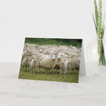 Curious Sheep Card