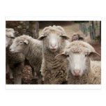Curious sheep post cards