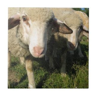 Curious sheep tile