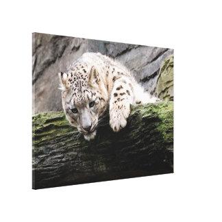 Curious Snow Leopard Canvas Print