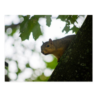 Curious squirrel /squirrel postcard