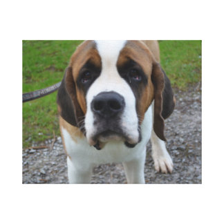 Curious St Bernard Gallery Wrapped Canvas