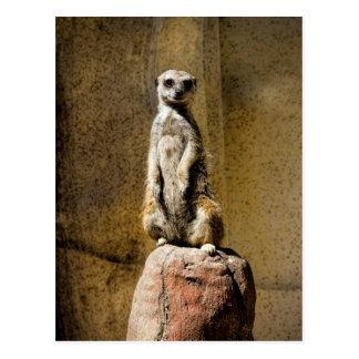 Curious Standing Meerkat - Suricata suricatta Postcard