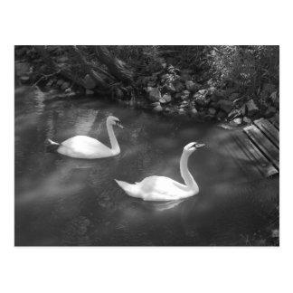 Curious Swans Postcard