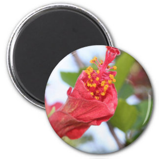 Curled Petals of A Red Hibiscus Bud 2 Inch Round Magnet