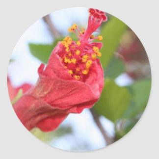 Curled Petals of A Red Hibiscus Bud Classic Round Sticker