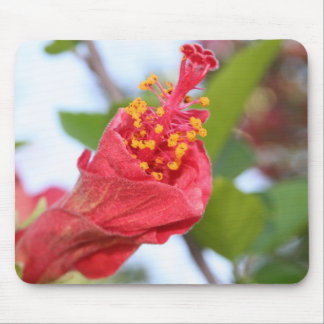 Curled Petals of A Red Hibiscus Bud Mousepads