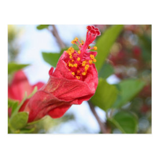 Curled Petals of A Red Hibiscus Bud Postcard