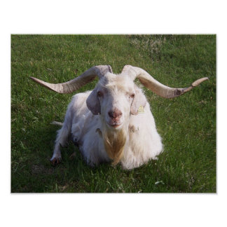Curly Horn Goat Poster