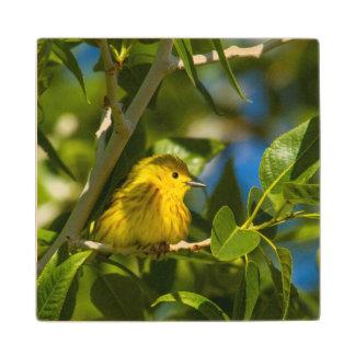 Curruca amarilla en árbol cerca de Augusta, Posavasos De Arce