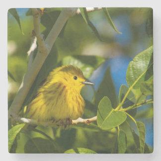 Curruca amarilla en árbol cerca de Augusta, Posavasos De Piedra