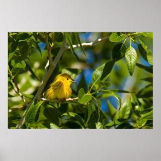 Curruca amarilla en árbol cerca de Augusta, Póster