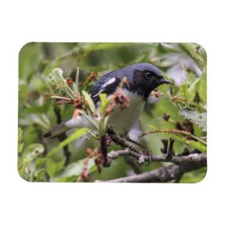 curruca azul Negro-throated Imanes Rectangulares