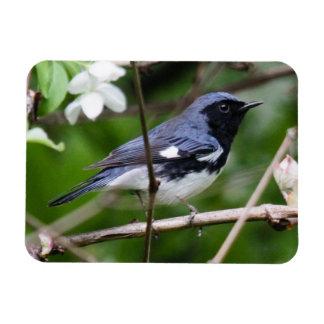 curruca azul Negro-throated Iman Rectangular