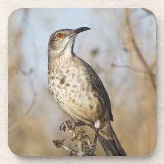 Curve-billed thrasher perched coaster