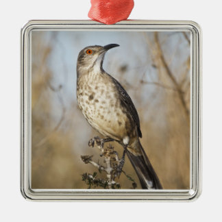 Curve-billed thrasher perched christmas ornament