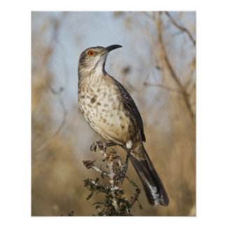 Curve-billed thrasher perched poster