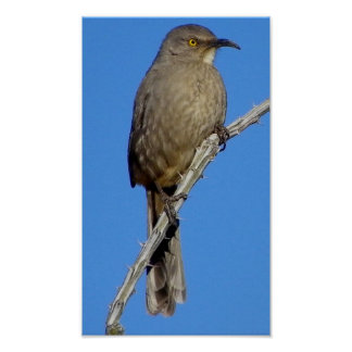 Curved-bill Thrasher Poster
