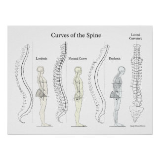 Curves of the Spine Poster Chiropractic