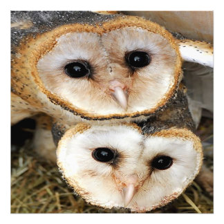 Custom baby barn owls photo print
